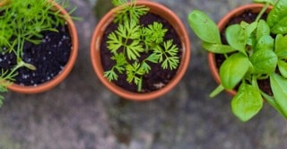 easily grow herbs indoors during the winter